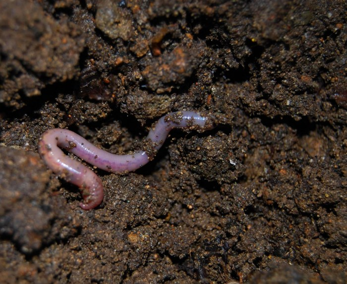 Not only do earthworms indicate fertile soil--they also help in cultivation!